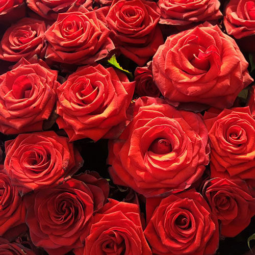 Fleurs-amanda-Surrey-Valentine's-day-Red-Roses-2